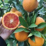 arancia moro biologica di Sicilia